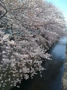 呑川沿いの桜